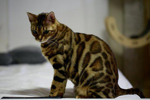 Bengal Cat Breeders Information and Pictures