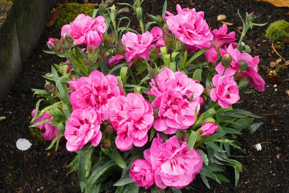 Plantă De Grădină Floare Primăvară Fotografie Gratuită Pe