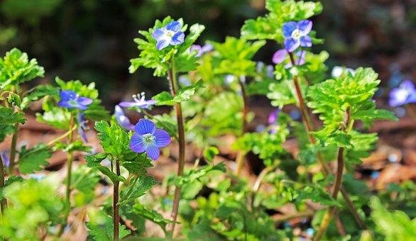 Lattich, Unkraut, Spitzen Blume