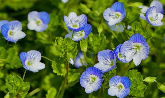 自然, フォレスト, 花, オオイヌノフグリ, Perischer名誉賞受賞