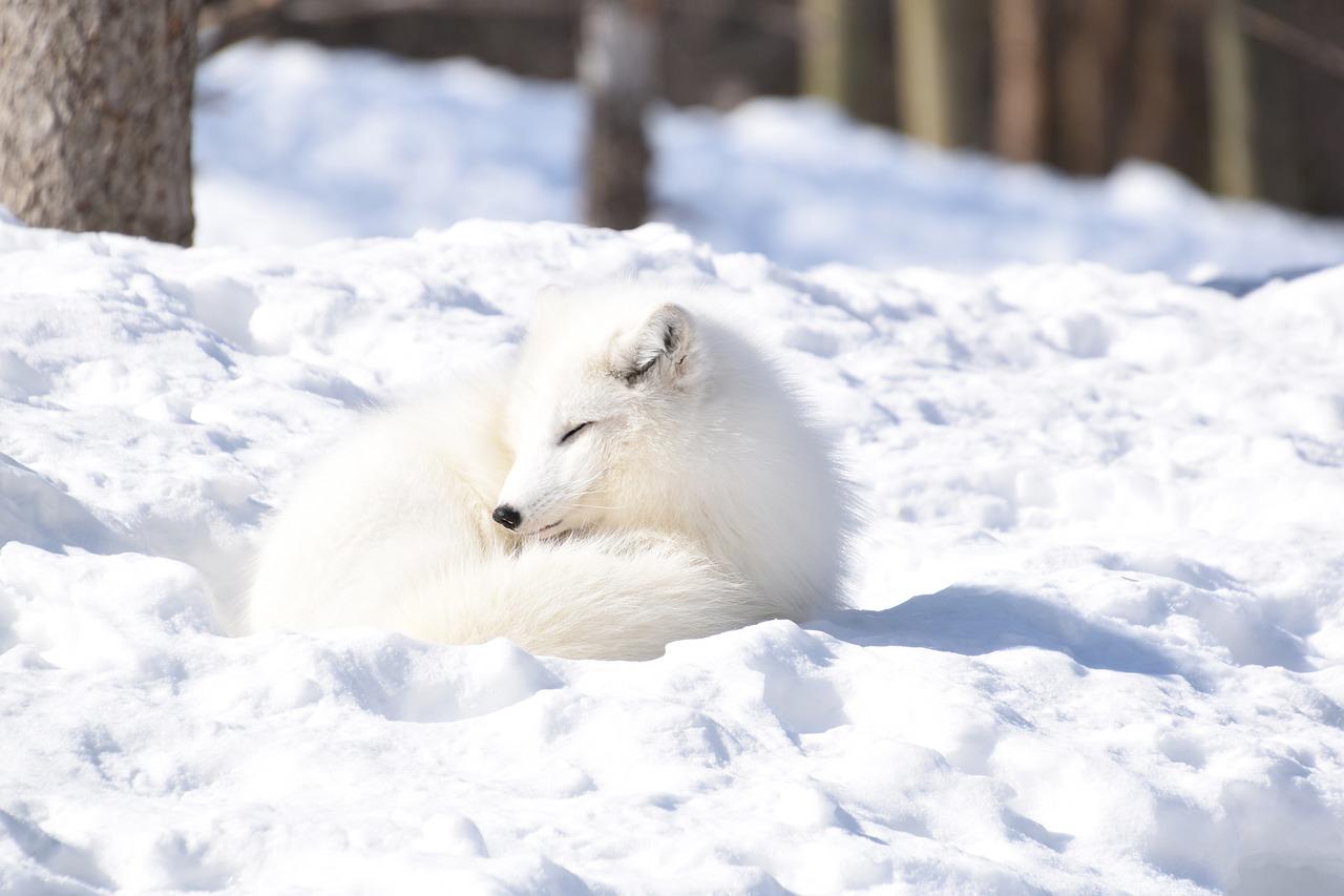 梦见白狐狸