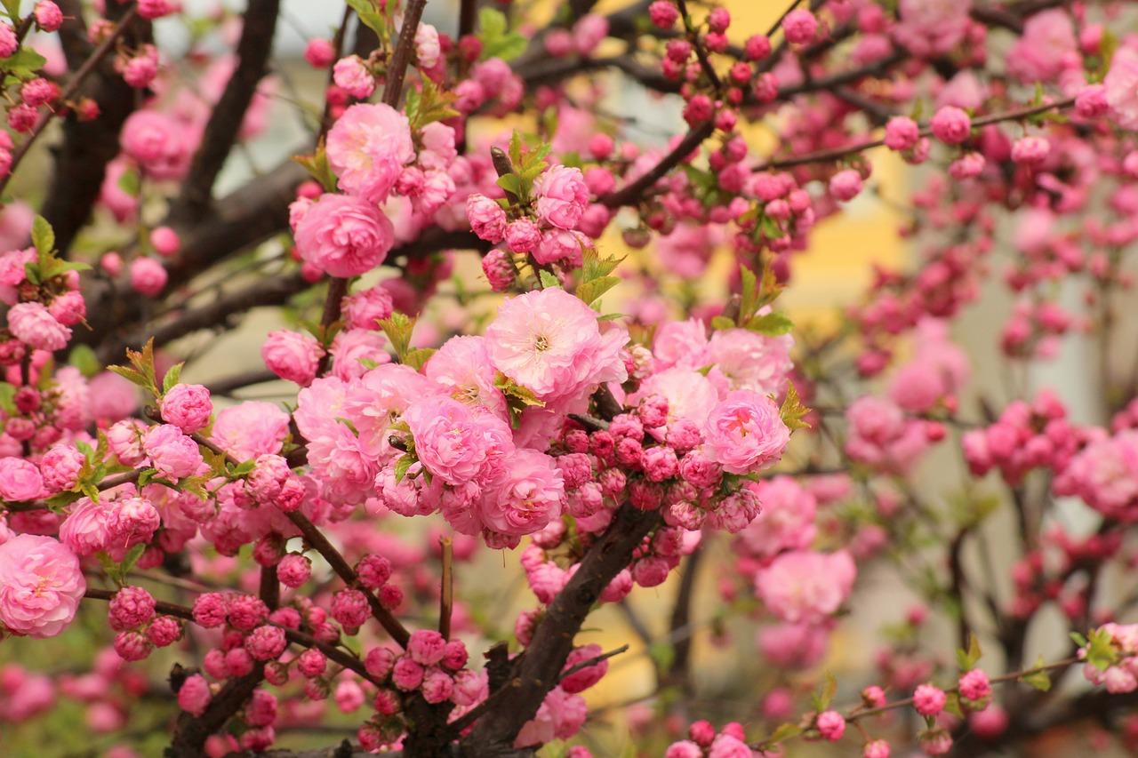 машину куст розовые цветы фото там сам напрашивается