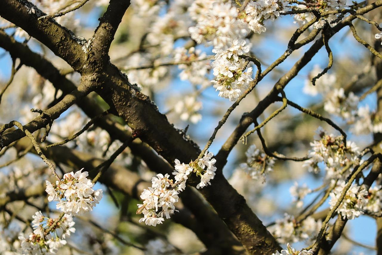 Вишневое Дерево Вишни В Цвету - Бесплатное фото на Pixabay