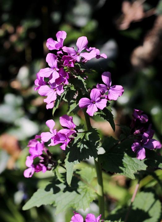 Lunaria, 正直, 花, 花序, パープル, 春の花, 装飾的です
