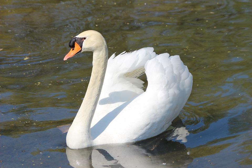 ¿Entónces es un cisne blanco?