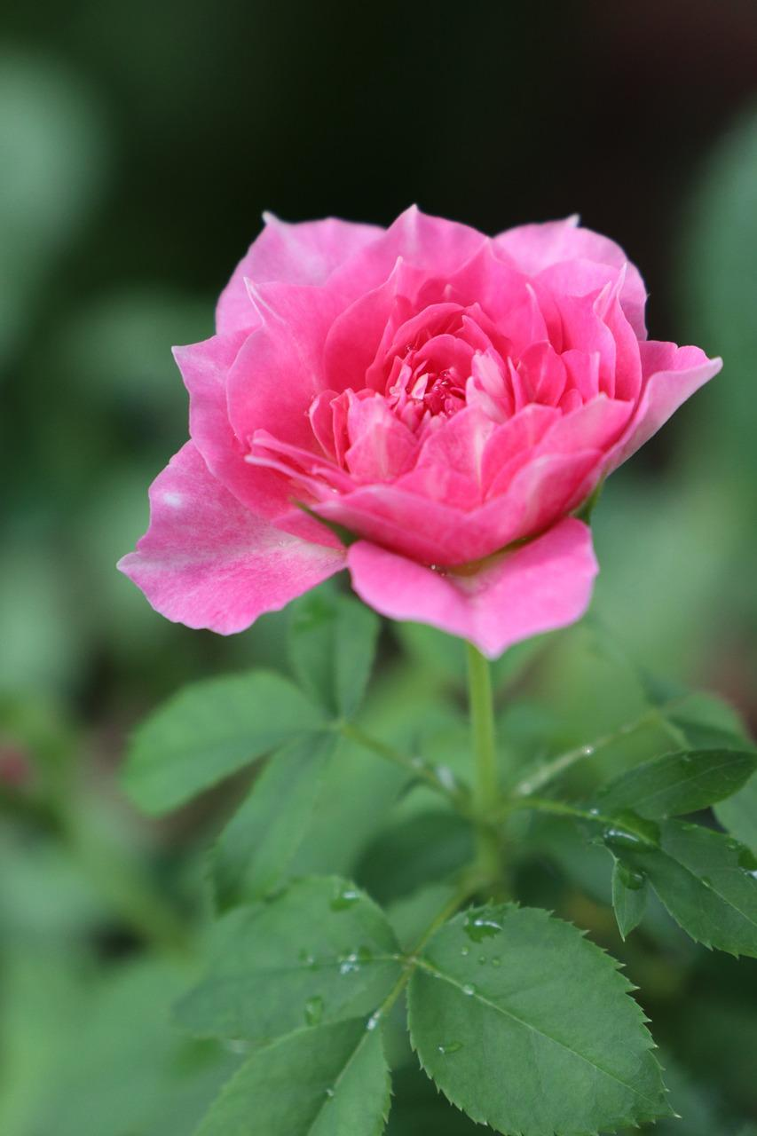 Bunga Mawar Indah Warna Merah Muda Foto Gratis Di Pixabay