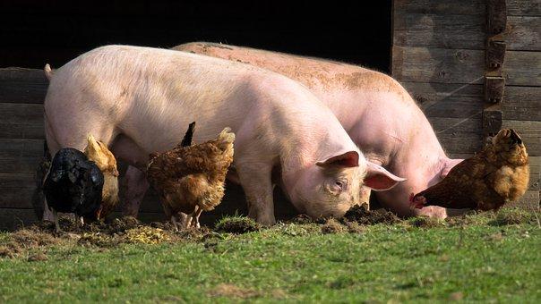 Cerdos, Pollos, Granja, Comer