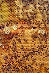 pszczoły, charakter, zwierzęta