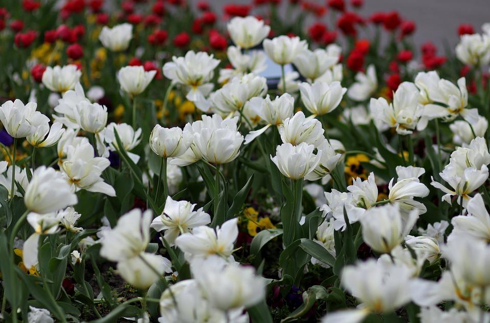 Tulipani Bianco Da Colorare Foto Gratis Su Pixabay