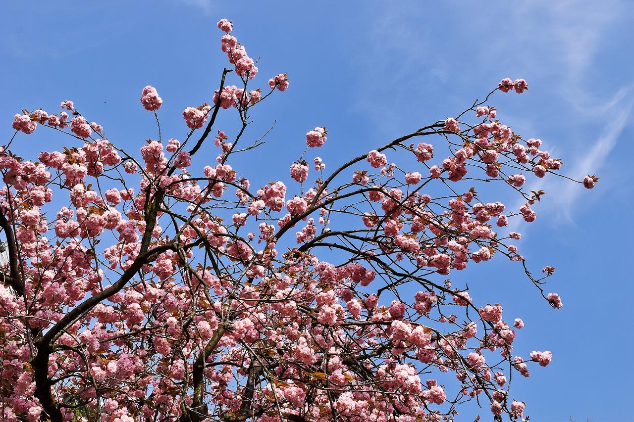 Cherry tree tits