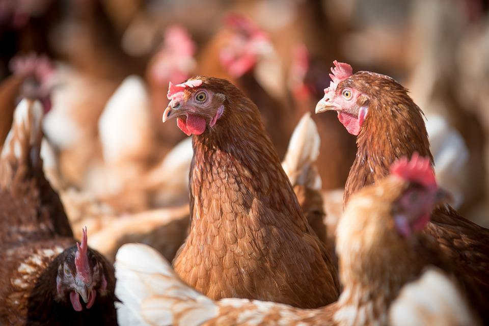 Laying Hens Hen Poultry - Free photo on Pixabay