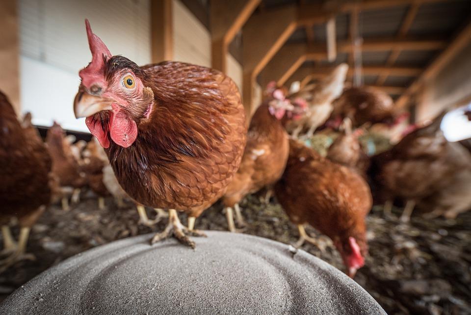 Peralatan Pendukung untuk Pemeliharaan Ayam Petelur