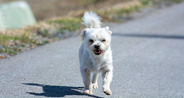Dog, White, Small, Out, Road