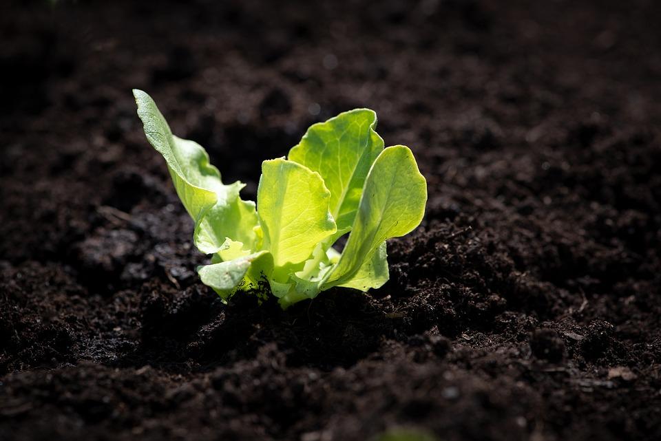 como semear alface dicas