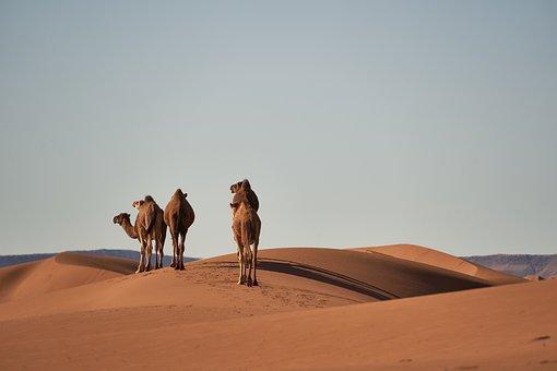 Desert, Sahara, Camels, Animals, Sand