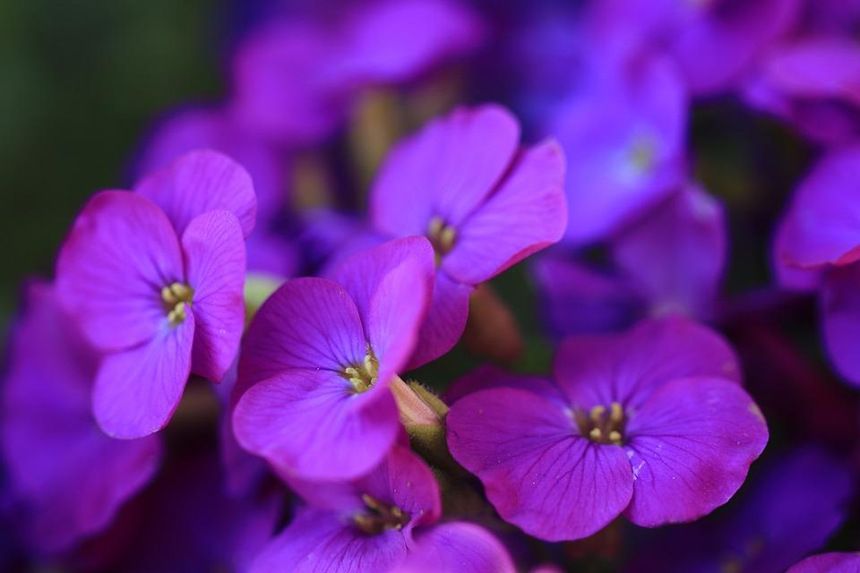 Fiori Viola Immagini.Aubrieta Fiori Viola Foto Gratis Su Pixabay