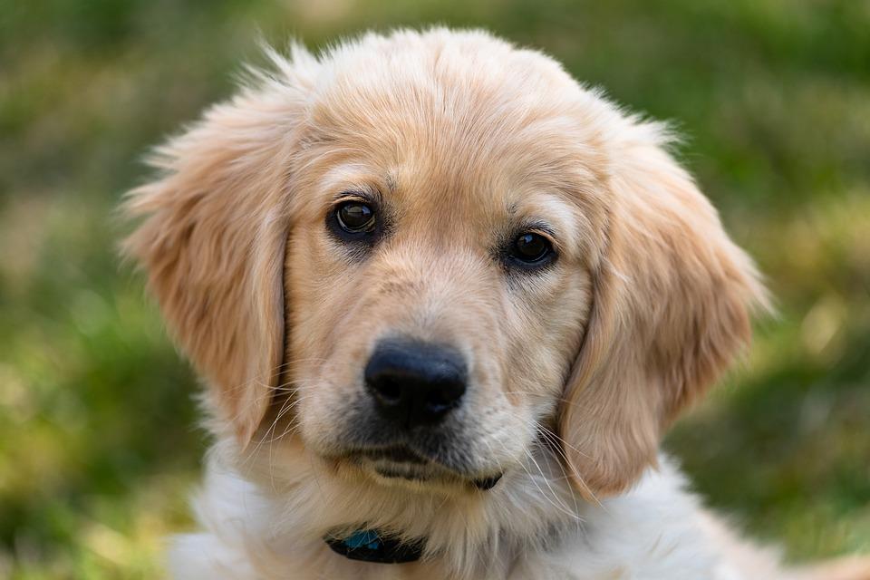 Golden Retriever, Puppy, Dog, Young, Cute, Mammal, Pet