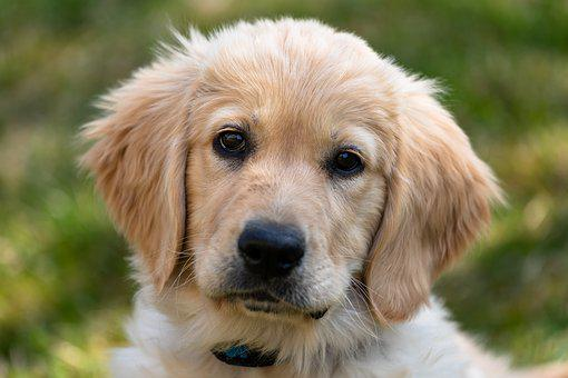 Golden Retriever, Puppy, Dog, Young