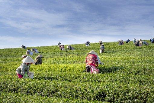 茶, ファーム, ベトナム, 葉, 収穫, 労働者, グリーン, 人, 女性