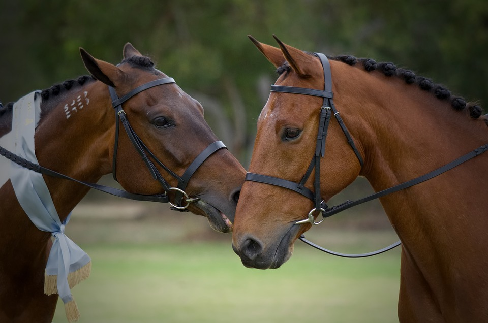 Standardbred, Horse, Horse Show, Pacer, Bay, Posing