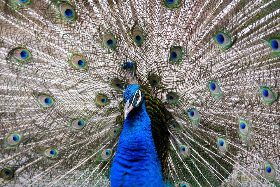 pauw vogel dierlijke - gratis foto op pixabay