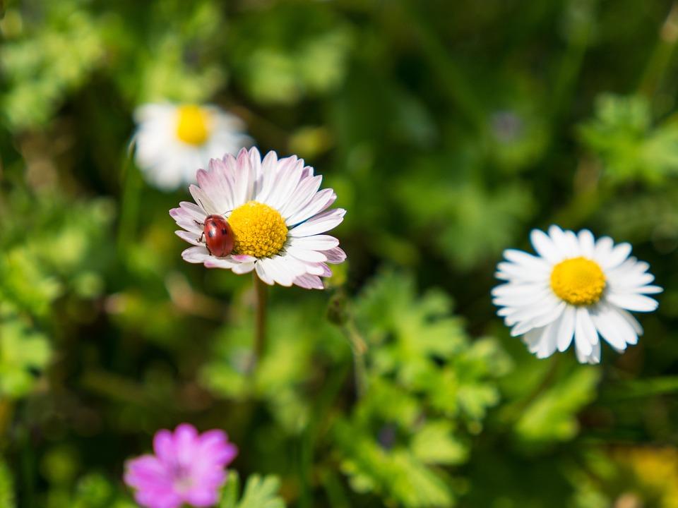Marienkäfer Natur Blume Kostenloses Foto Auf Pixabay