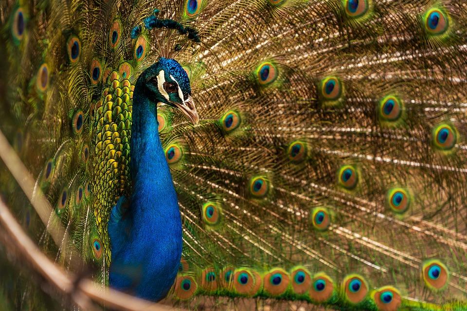 81+ Gambar Hewan Burung Merak Terbaik