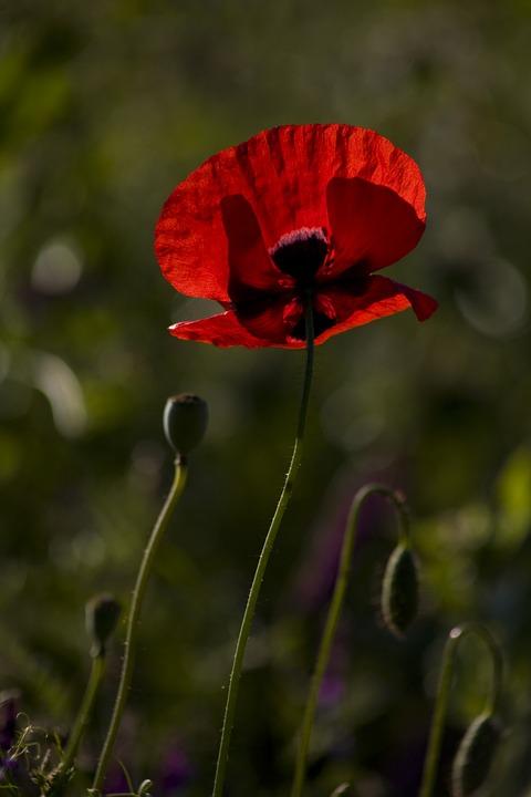 Papaver Rhoeas, Fleur, Coquelicot, Nature, Rouge