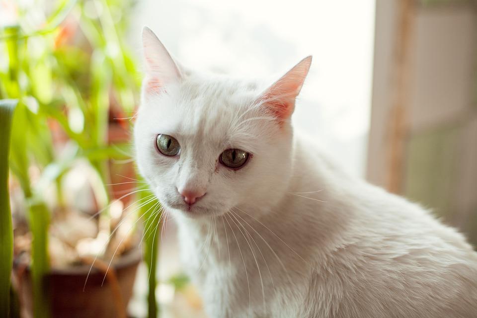 Velká bílá kočička com