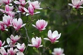 Spring, Magnolia, Flowers, Pink