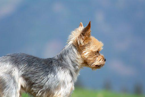 Dog, Yorki, Terrier, Small, Out, Animal