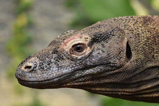 Komodo, Dragon, Reptile, Lizard