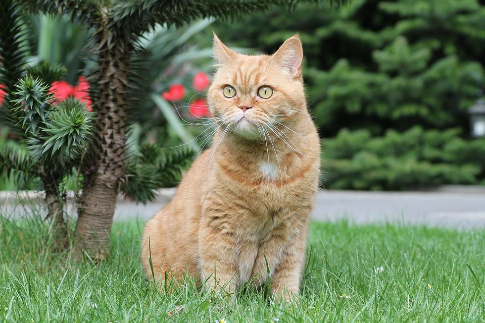 59945548588b Γάτα Βρετανική Κοντότριχη Τα Μάτια - Δωρεάν φωτογραφία στο Pixabay