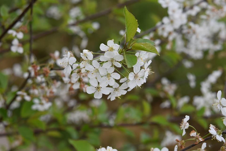 Arbusto Fiori Bianchi.Fiore Fiori Bianchi Arbusto Da Foto Gratis Su Pixabay