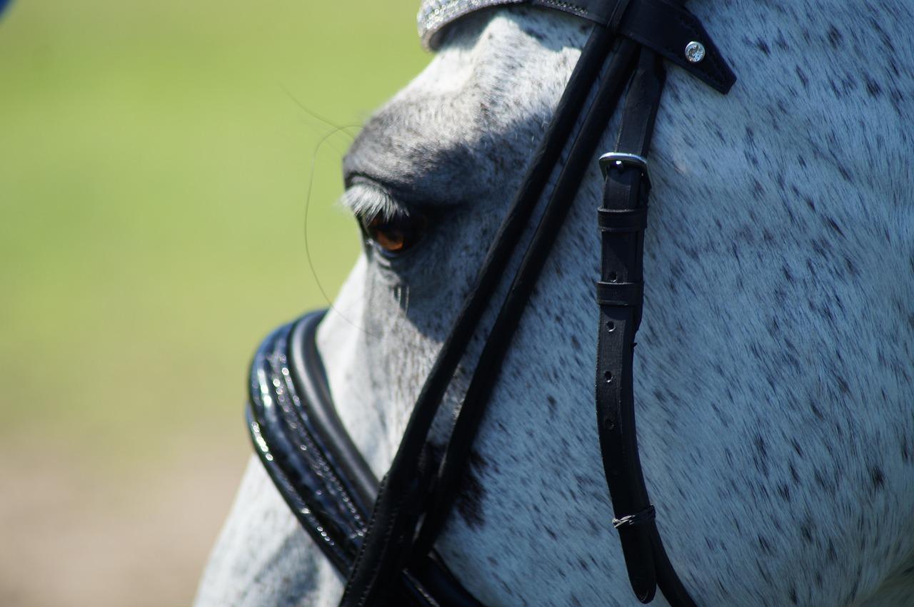 Horse Bridle Dressage Free Photo On Pixabay