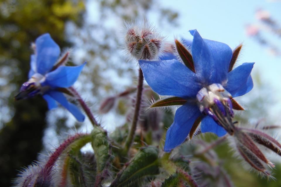 Blu, Borragine, Fiore, Natura, Piante, Giardino, Erba