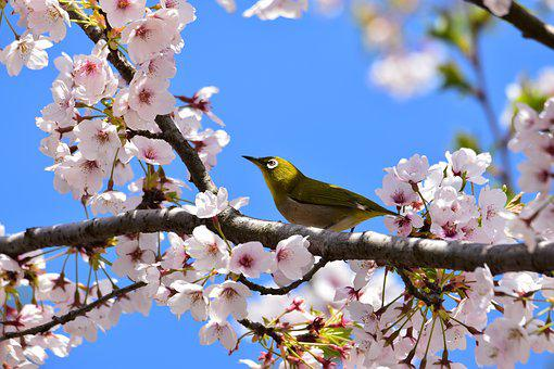 Animal, Plant, Flowers, Cherry Blossoms
