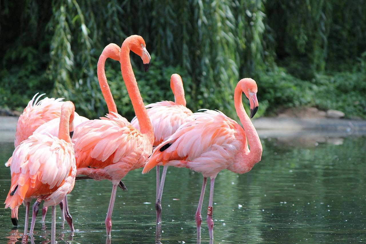 состав свойства фламинго фото рисунков преданиям марварийская
