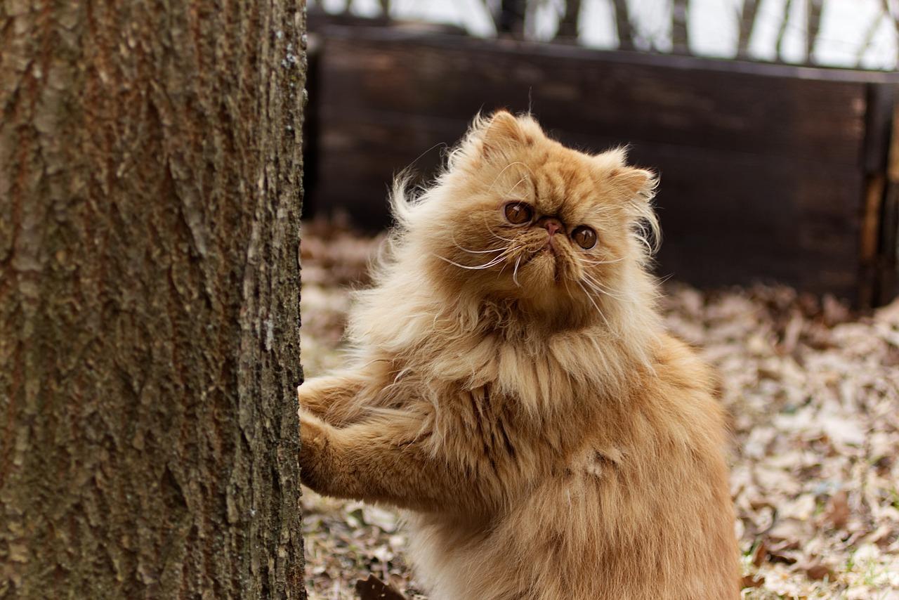 Persians Persian Cat Pet - Free photo on Pixabay