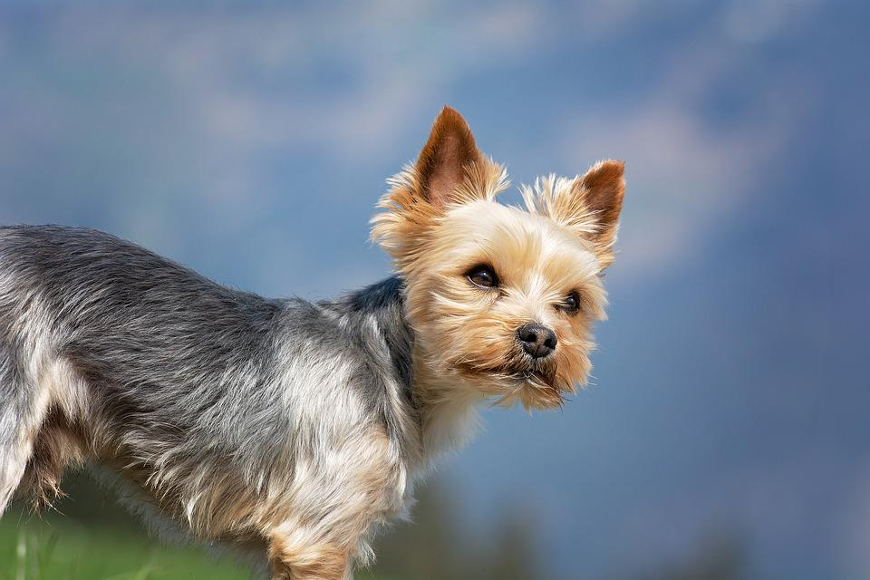 Dog, Small, Out, Yorki, Yorkshire Terrier, Sweet, Cute