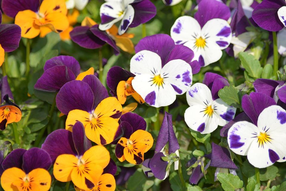 Veilchen Bunt Garten Kostenloses Foto Auf Pixabay