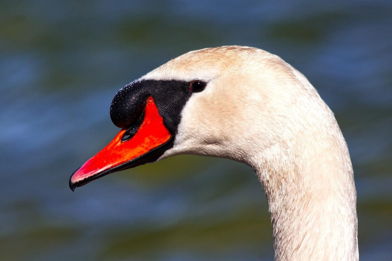 голова лебедя фото выражается навязчивости, которая