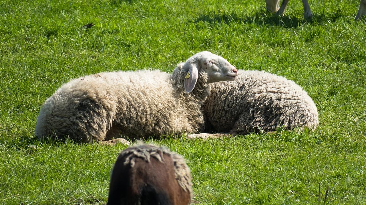 фото овцы спрятались все знают том