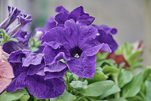 400+ Free Petunia & Flowers Images