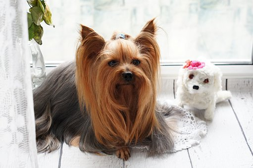 Miniature Yorkshire Terrier Puppies For Sale in West Virginia