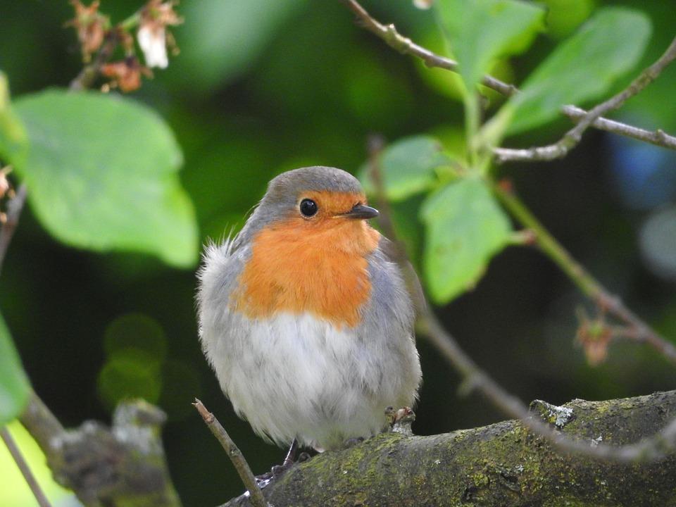Rotkehlchen Vogel Garten Kostenloses Foto Auf Pixabay