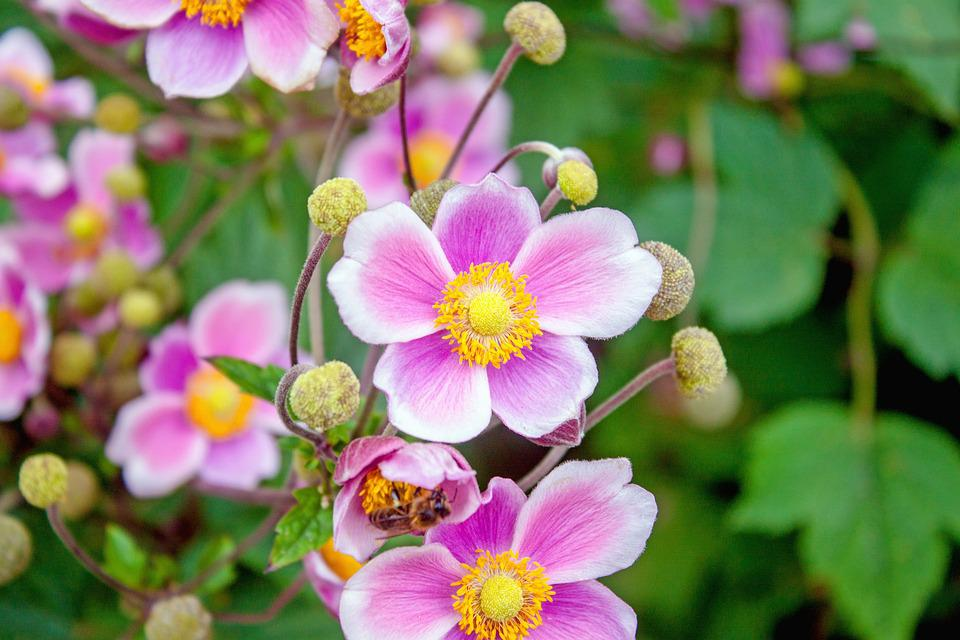 Japanese Anemone, Flower, Pink, Flowers, Spring, Nature