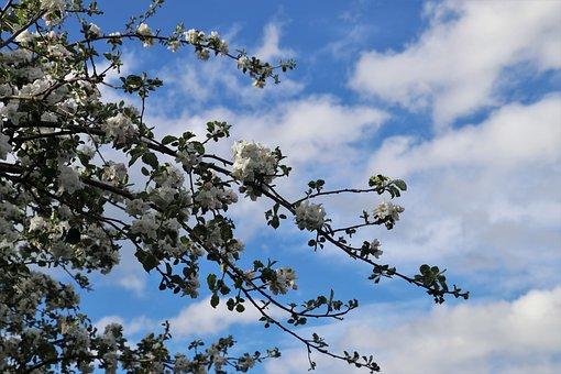 Cielo Blu, Ramoscelli, Fiore Di Apple