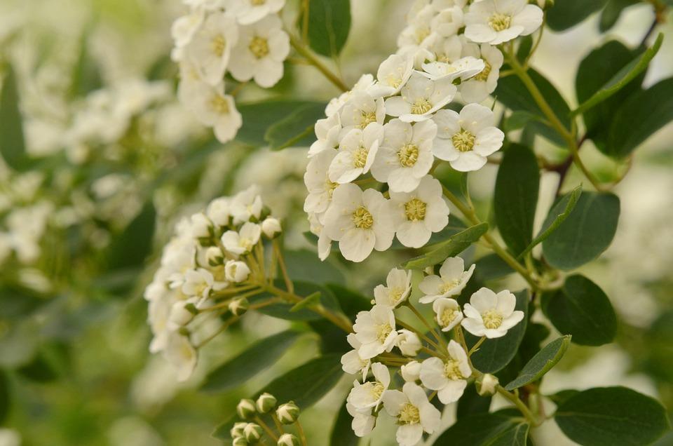 Bianco, Fiore, Biancospino, Giardino, Fioritura, Estate