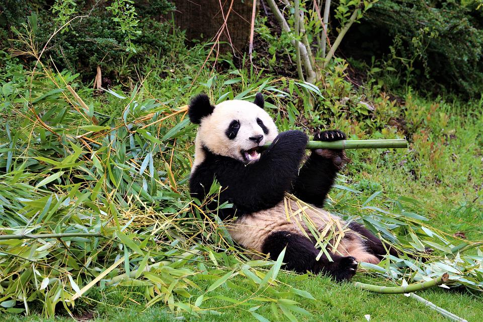 Panda, Zoo, Beauval, Mammifères, Asie, Bambou, Chine